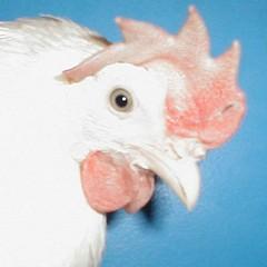 white_leghorn-untrimmed_beak