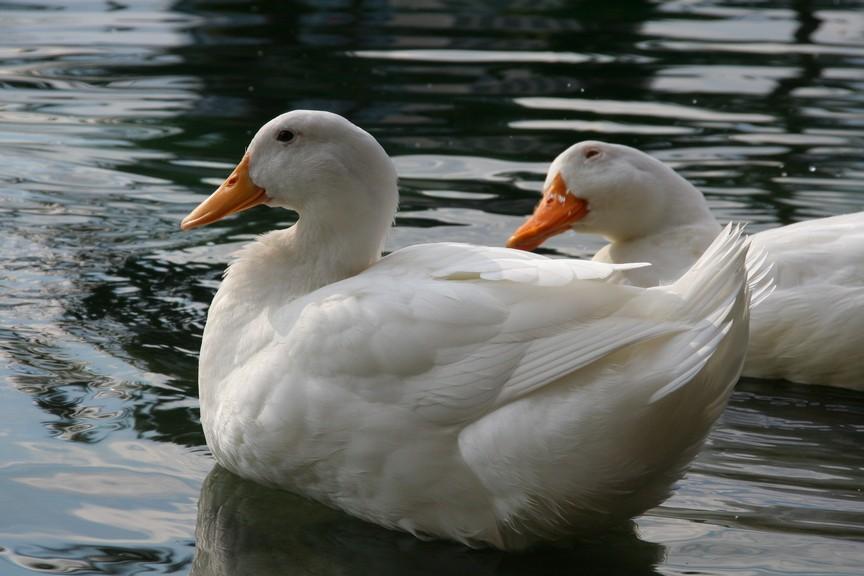 duck5morguefile