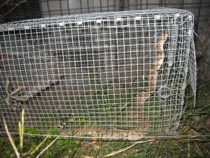 San Antonio Snake Trap - With Snake
