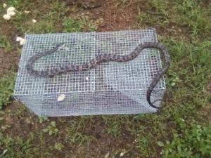 snake in trap